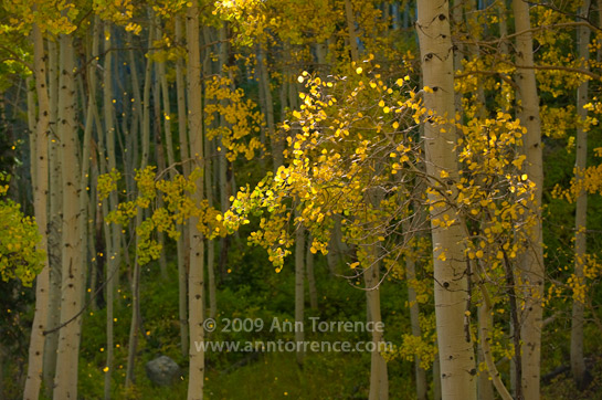 falling aspen leaves Big Cottonwood Canyon