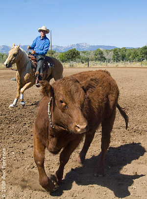 ranch horse competition rodeo cattle cow  cowboy