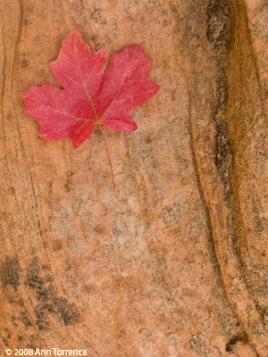 red Maple leaf, Zion National Park (Canon G9, interpreted with Adobe Lighroom