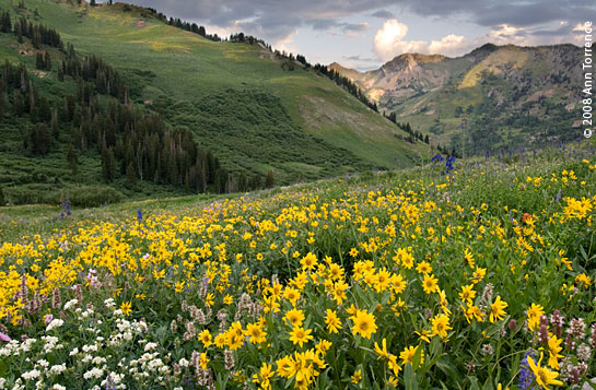 Albion Basin, Wasatch National Forest, Utah
