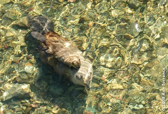 beaver_AT32901.jpg