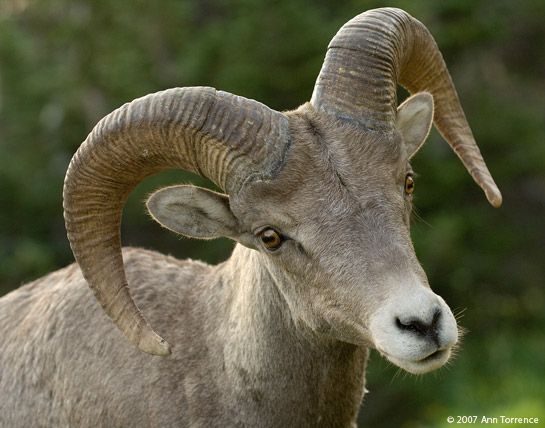 Bighorn Big horn Sheep Portrait