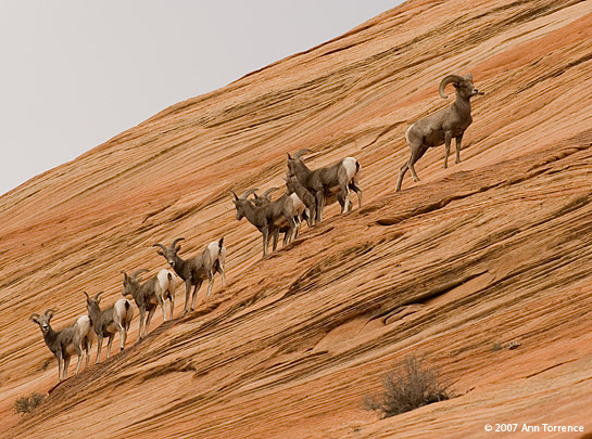 desert Bighorn sheep in Zion National Park