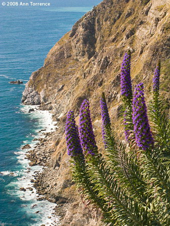 lupine wildflower big sur coast ocean