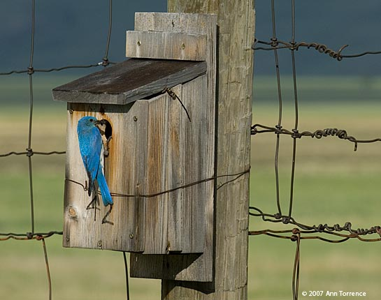 male mountain bluebird feeding chicks in nest box