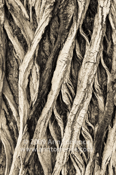 cottonwood tree bark abstract