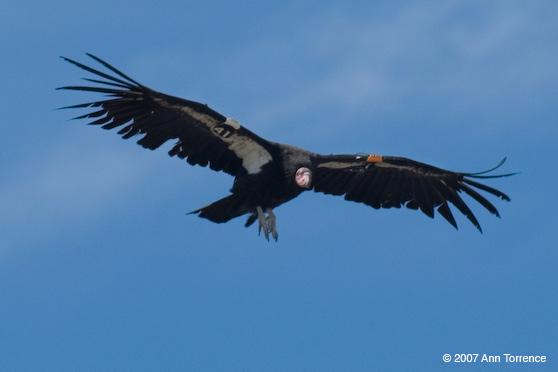 Condor Grand Canyon National Park