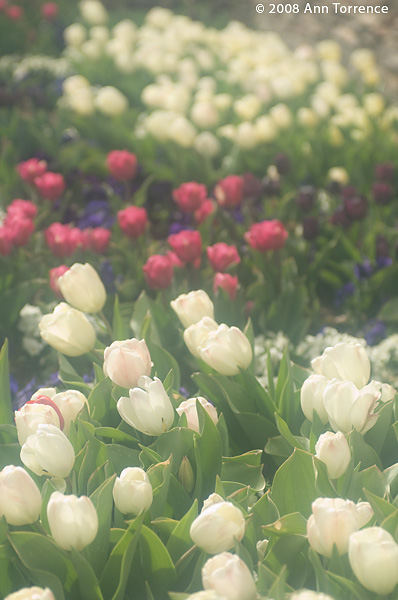 spring flowers white tulips misty dream pastel cokin filter
