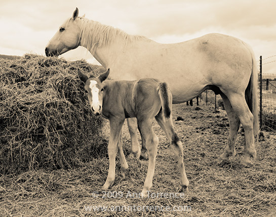 three day old buckskin foal filly