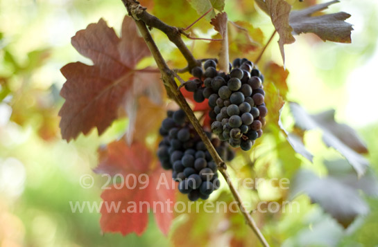 grapes_AT78875.jpg