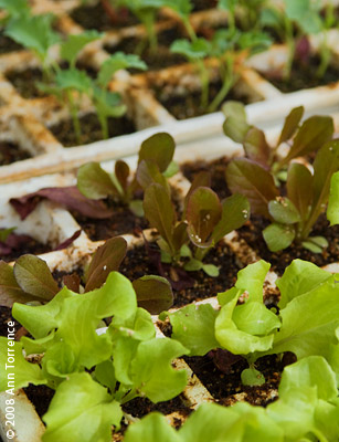 lettuce seedling greens transplants