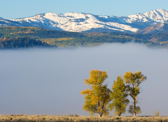 cottonwood in fog south of Jackson Hole with Teton range in background