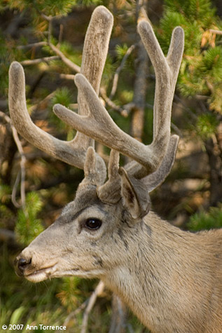Mule deer buck - Yellowstone National Park