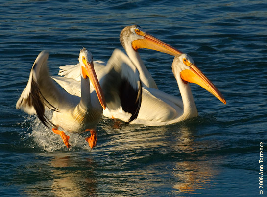 American white pelican take-off feet orange bill bear lake idaho utah