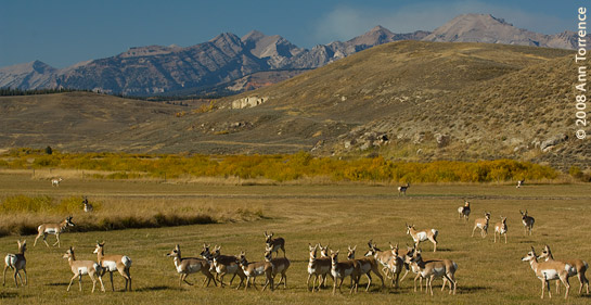 Herd of Pronghorn near Bondurant, Wyoming
