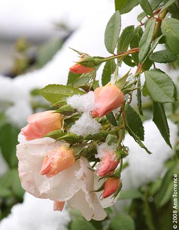 rosebuds in the snow pink roses
