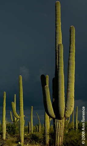 saguaro national park monsoon storm gray clouds cactus sunlit