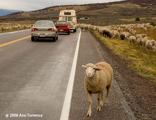 sheep on the highway in rural Utah