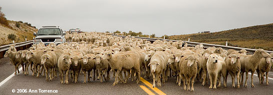 sheep drive along highway with vehicles