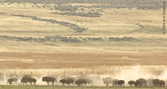 buffalo bison herd stampede dust Antelope Island Great Salt Lake
