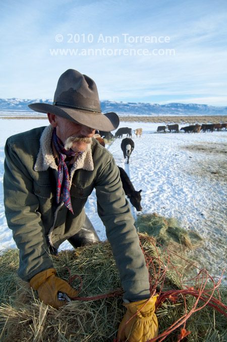 cowboy feeding cattle from back of a pick-up Sanpete County Utah