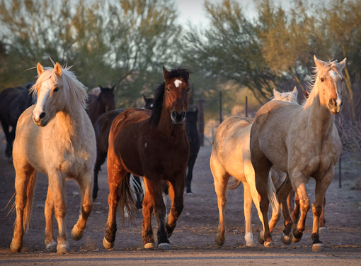 dude ranch horse running free in early morning light at Rancho de los Caballeros Wickenburg AZ