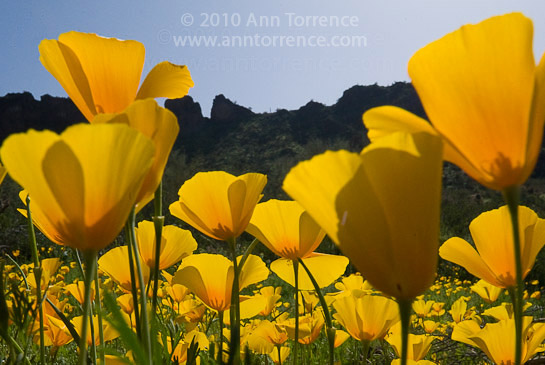 California poppies at Picacho State Park in Arizona
