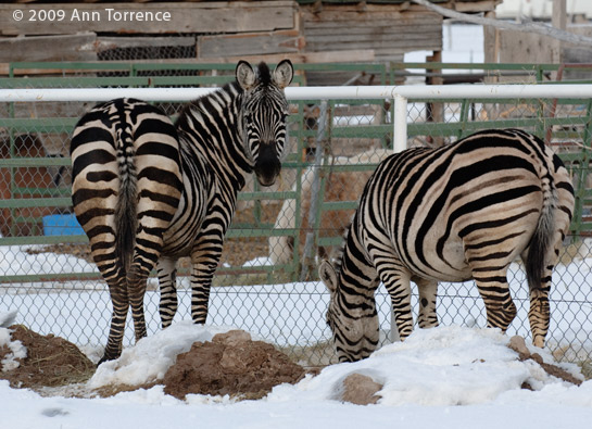 zebras_0334.jpg