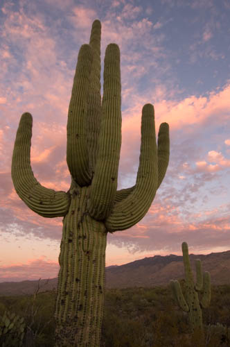 Saguaro National Park cactus at sunset
