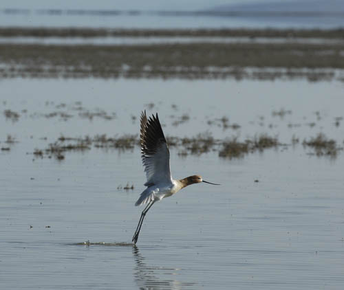 American Avocet on the Great Salt Lake