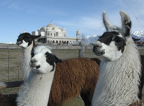 funny llamas with Krishna temple and Wasatch Mountains in background