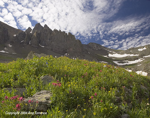 Wildflowers in Imogene Basin, San Juan Mountains, Colorado