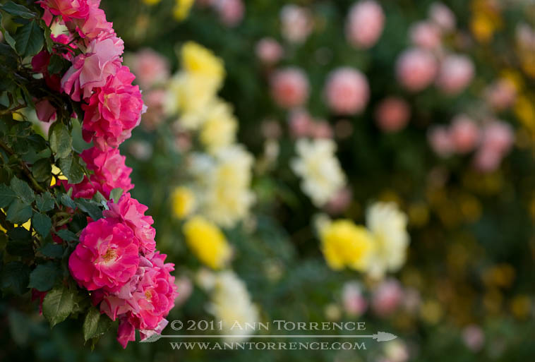 Garlands of climbing roses in a private rose garden