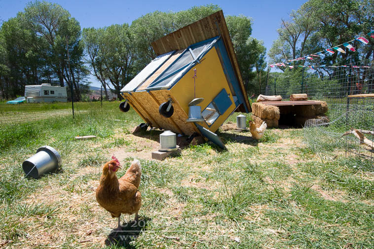 chicken coop blown over in the wind