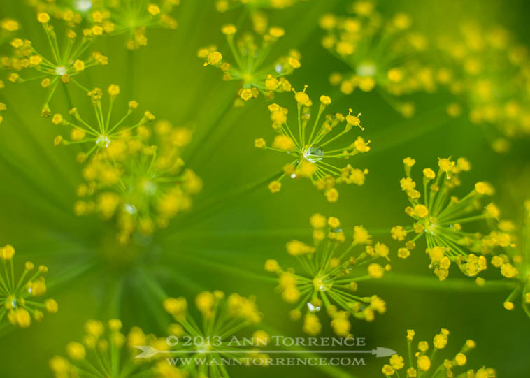 Raindrops on a dill flower head