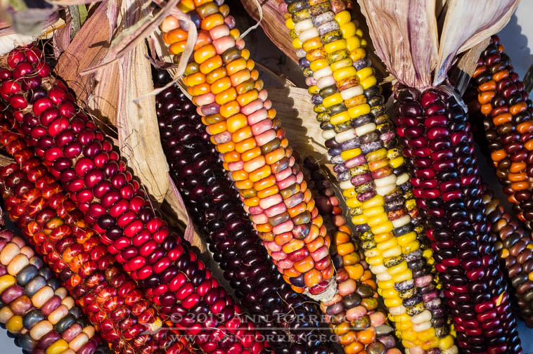 Painted Mountain Corn from our garden. The yellow ear is the singularly most beautiful thing I have ever grown.