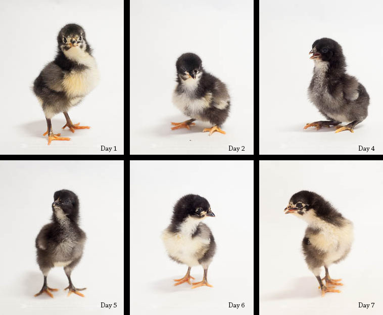 Six chicks in their first seven days
