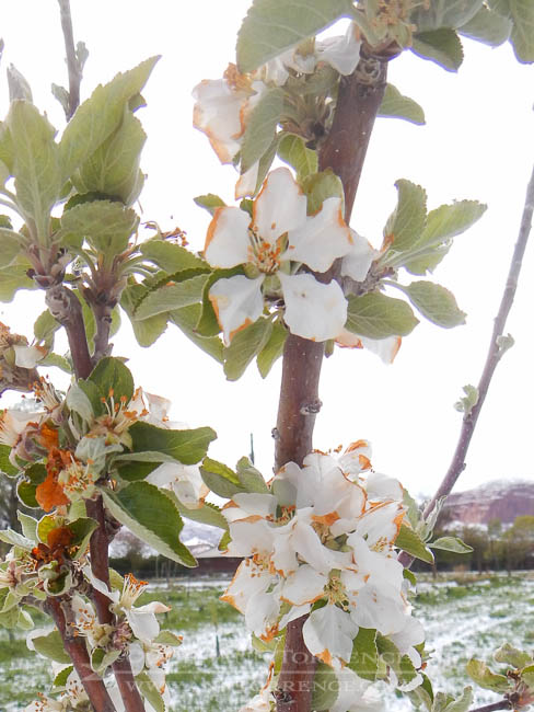 Calville de Blanc blossoms after a late spring snow storm