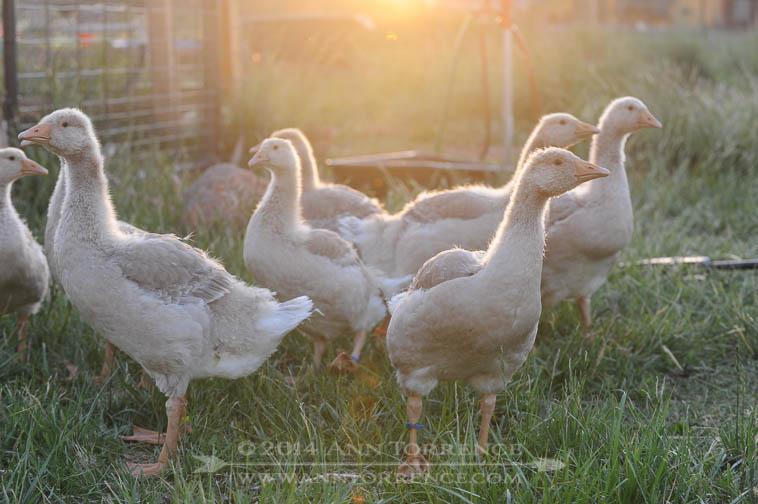 Five week old American Buff geese