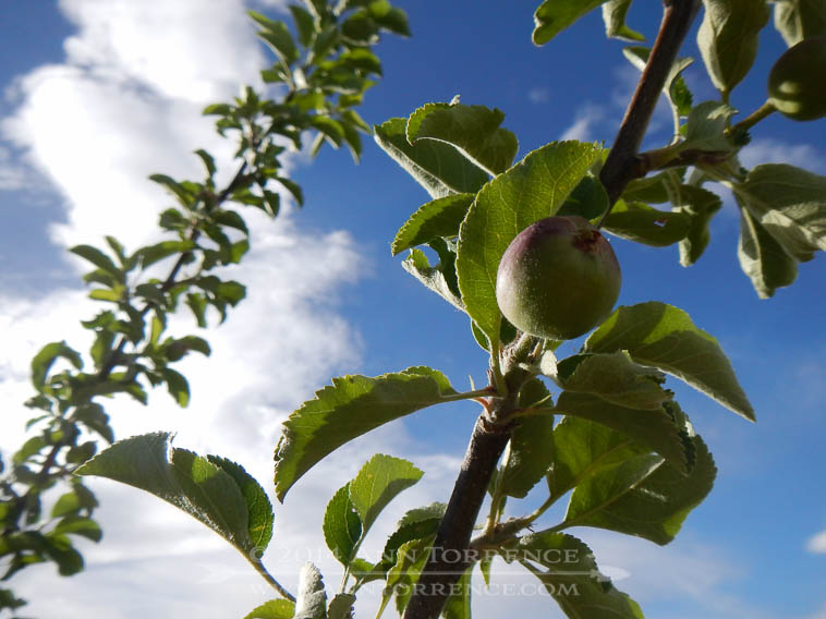 Our first apples are growing!