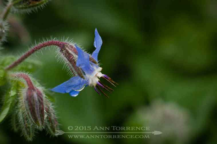 Borage is another good plant for bees