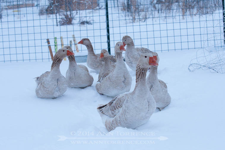 The geese had never seen deep snow before