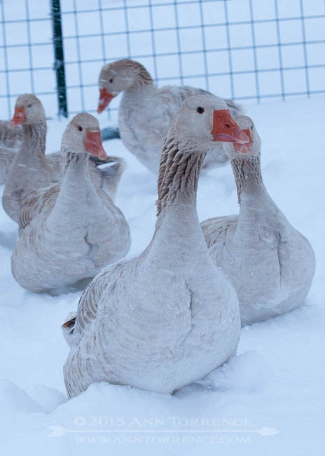 New Year's morning a slog: our geese encounter deep snow for the first time