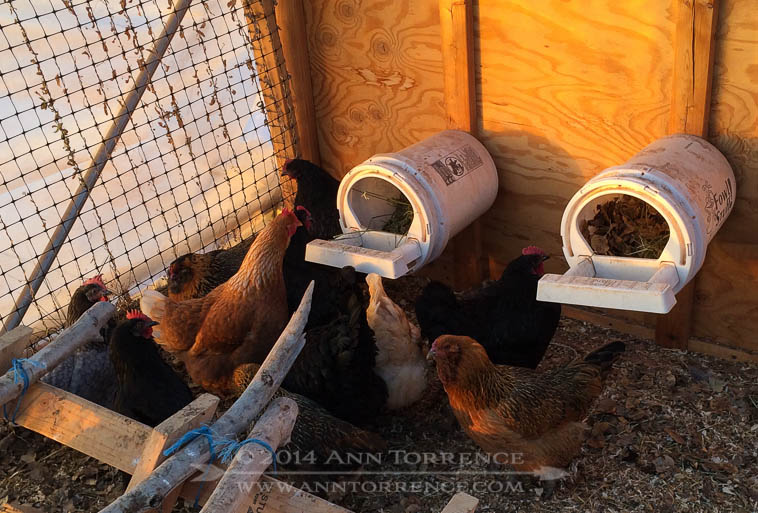 Layer hens inspecting their fresh nesting material.