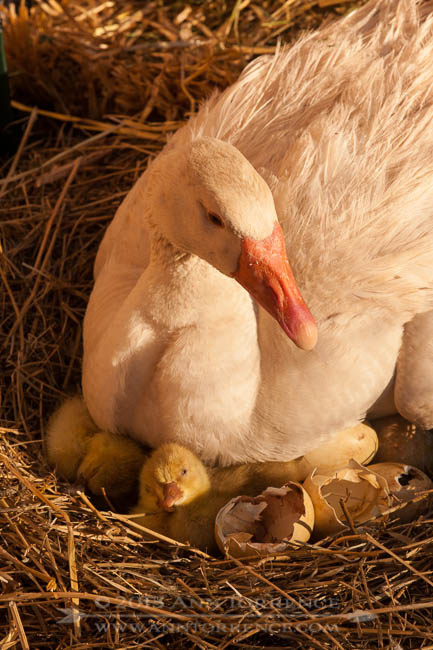 American Buff goose and her gosling