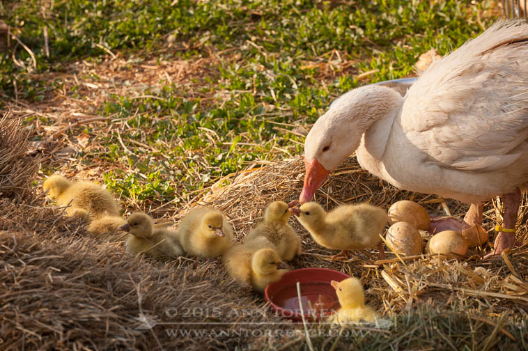 Yellow Girl, an American Buff goose, tends her day-old goslings