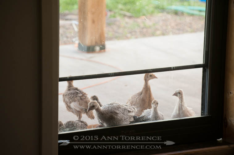 Some of the six kinds of heritage turkey poults we are raising this year.