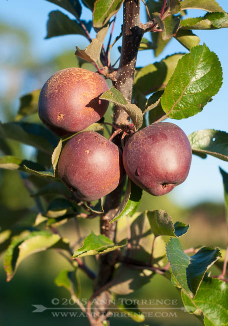 Maturing Redfield apples
