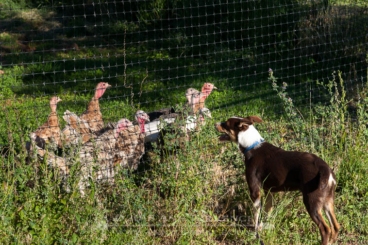 Carson the McNab herding dog does not scare the turkeys