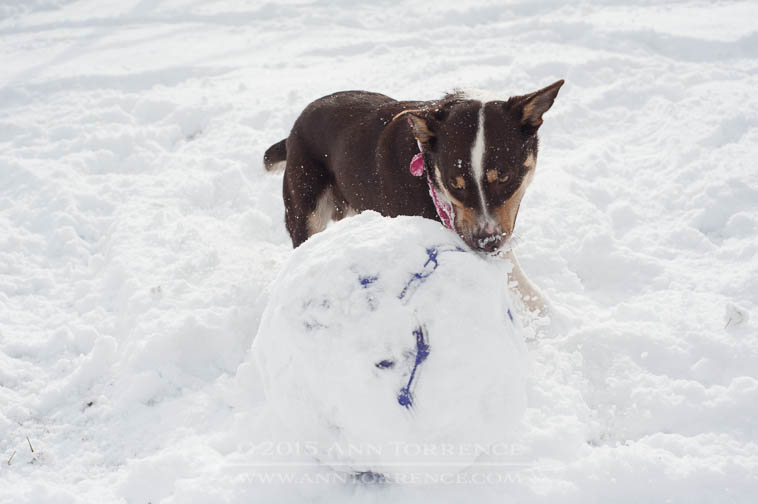 Carson the McNab cow dog herding his so far indestructible ball, the spherical purple cow, through the snow.